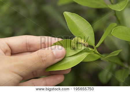Biotechnology scientist with worm on leaf orange for examining plant insects.
