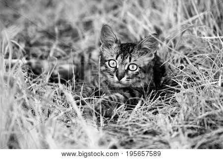 A beautiful striped  playing  and hunting kitten of unknown breed  in the grass in the open air.