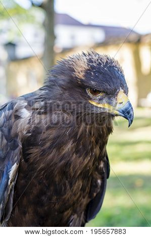 Portrait Of Golden Eagle (aquila Chrysaetos)