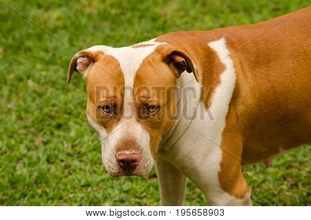 Serious looking brown and white pit bull terrier with green grass background