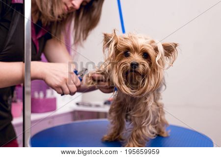 Cropped Shot Of Young Professional Groomer Grooming Yorkshire Terrier In Pet Salon