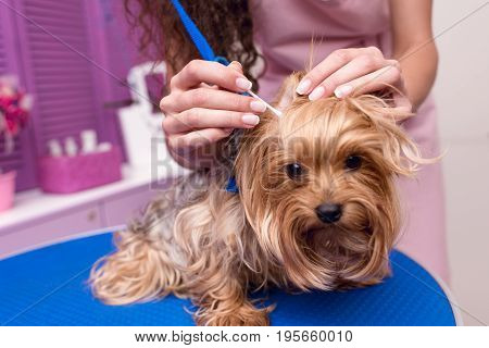 Cropped Shot Of Professional Groomer In Apron Cleaning Ears Of Cute Small Furry Dog