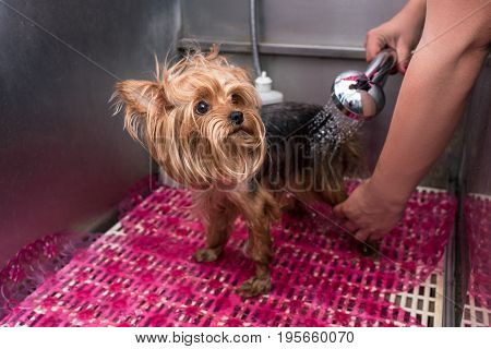 Cropped Shot Of Groomer Washing Scared Yorkshire Terrier With Shower