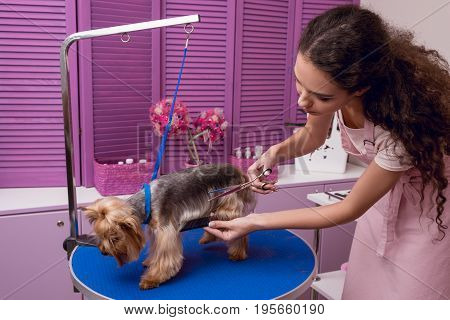 Young Professional Groomer Holding Comb And Scissors While Grooming Dog In Pet Salon