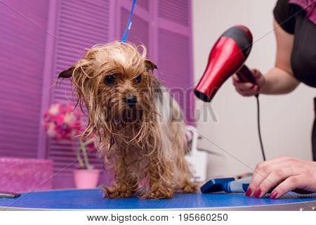 Cropped Shot Of Groomer With Hair Dryer Drying Cute Furry Yorkshire Terrier Dog