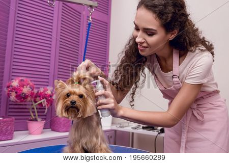 Smiling Professional Groomer Holding Lotion And Grooming Cute Small Dog In Pet Salon