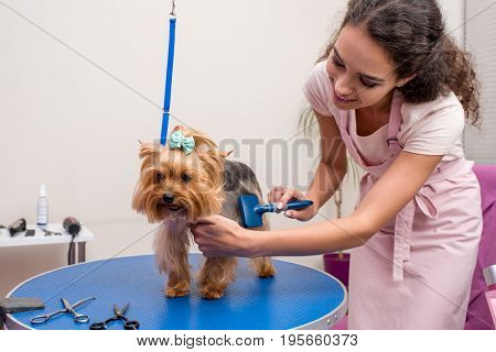 Smiling Professional Groomer Holding Comb And Grooming Cute Small Dog In Pet Salon