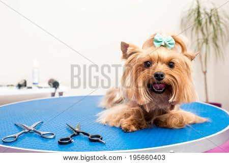 cute furry yorkshire terrier dog lying on table in pet salon