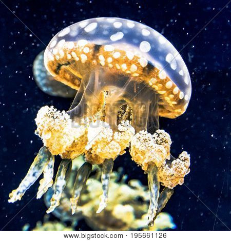 Close up of a Spotted Lagoon Jellyfish with other jellyfish out of focus in the background