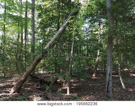 fallen large tree leaning on a skinny tree