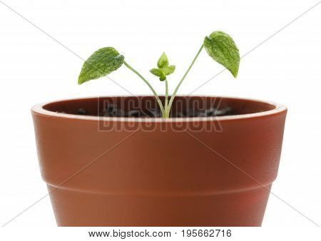 Macro of new tiny sprout of Delphinium with first leaves growing in small red flowerpot isolated on white background