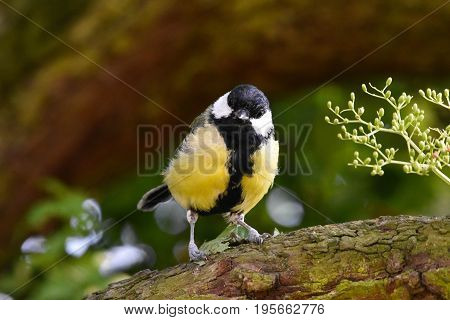 The great tit (Parus major) is a passerine bird in the tit family Paridae. It is a widespread and common species throughout Europe, the Middle East, Central and Northern Asia, and parts of North Africa where it is generally resident in any sort of woodlan