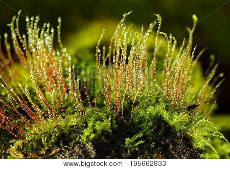 Bryophyte And Dew