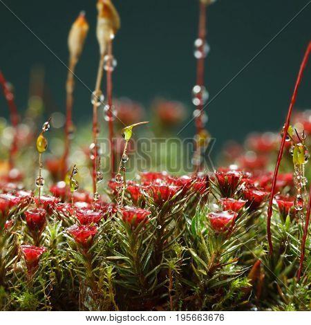 Red Moss Blossom