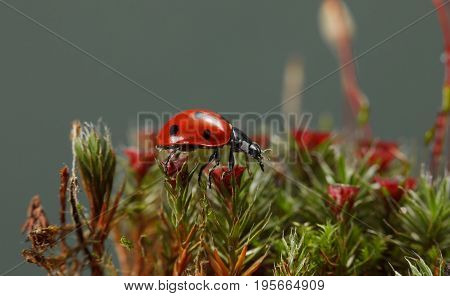 Ladybird On Blossom Moss On Forest Floor