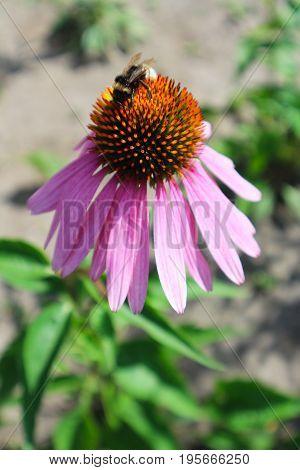 Echinacea purpurea (Eastern purple coneflower) flower with bumblebee.