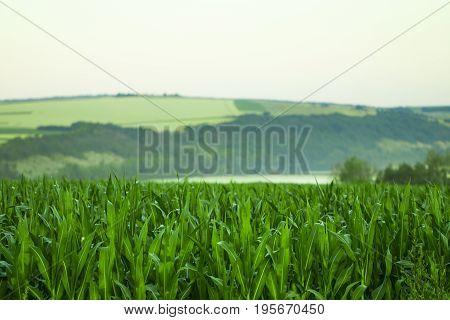 Green Field With Corn. Blue Cloudy Sky. Sunrise On The Horizon