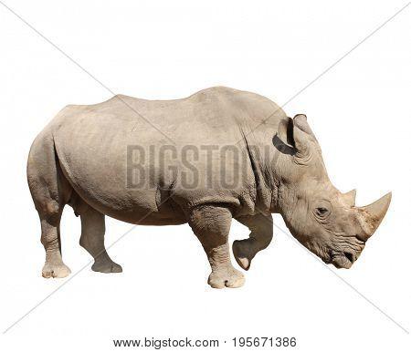 White rhinoceros (square-lipped rhinoceros, Ceratotherium simum). Isolated on white background