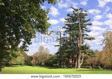 Lebanon cedars in park near to Chateau de Chenonceau castle, Loire Valley, France
