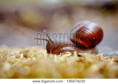 Small brown snail crawling and moss in the environment.