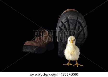 little chicken isolated on the black background