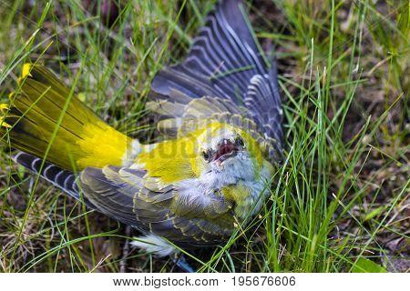 A Stunning Yellow Wagtail (motacilla Flava) Sitting In The Grass