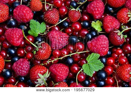 Berries organic background. Raspberry strawberry red and black currant organic fresh from village garden. Ecological organic berries for desserts smoothie or jam.