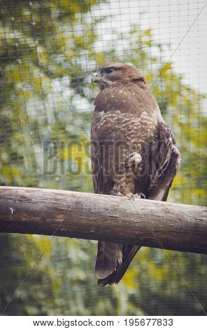 A female buzzard looks back from her perch on stick