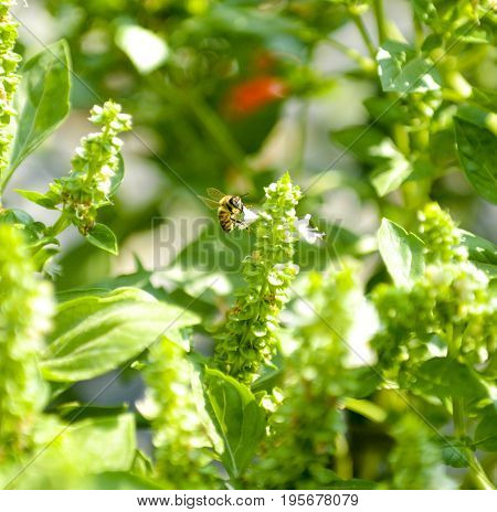 Bee on the basil field with flowers herb for aromatherapy image of a