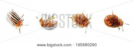 Collage of potato bugs on white background