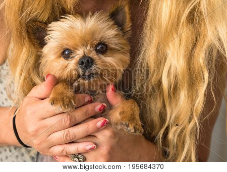 Blond caucasian woman with long hair holding Yorkshire terrier in her hands cute dog face eyes looking in camera cuddling sweet close up