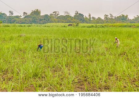 GUAYAS, ECUADOR, OCTOBER - 2016 - Farmers working at plantation in Guayas district Ecuador