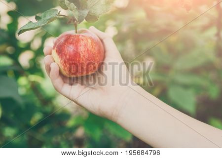 Child's hand pick red ripe apple on a tree branch. Autumn garden in village. Growing seasonal fruits, gather harvest at farm, agricultural concept