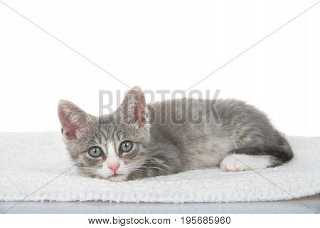 Gray and white kitten laying on sheepskin blanket head on paws looking directly at viewer. White background