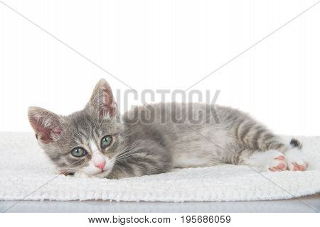 Gray and white kitten laying on sheepskin blanket head on paws looking at viewer. White background
