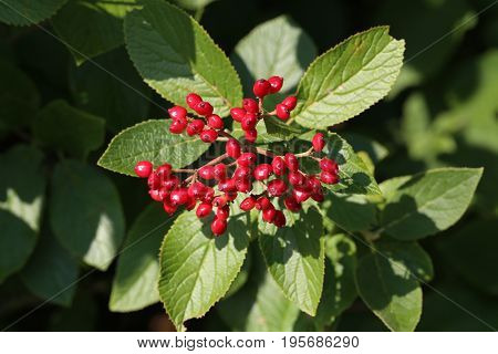 Red viburnum / Bunch of red berries (Viburnum opulus commonly known as guelder-rose)