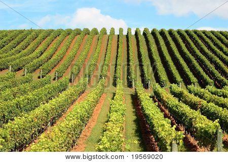 New Zealand Weinberg schönen üppigen, grünen Weingarten steigt in eine perfekte blauen Himmel...