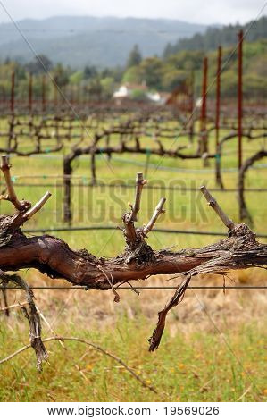 Grapevine in a vineyard, Napa valley, California