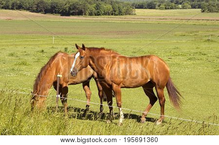 Two horses grazing in a Wisconsin pasture with woods in the background.
