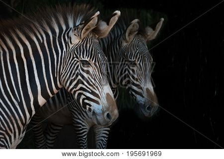 Close-up Of Grevy Zebra Mother Beside Foal