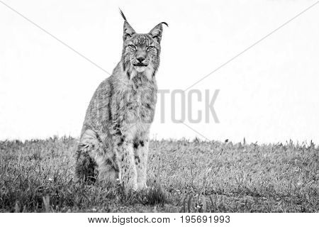 Mono Lynx On Grass Looking At Camera