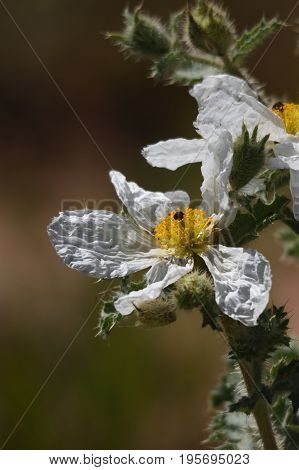 a flatbud prickly poppy that has been in the sun