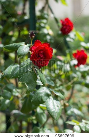 Red rose in bloom in French rose garden