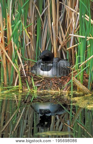 Common Loon sitting on nestin reed grass reflection in water