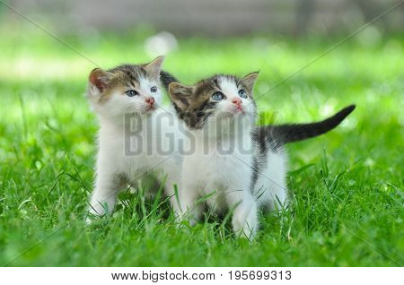 Two curious little kittens play in the grass. Little kitty play outside