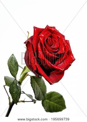 Closeup Of A Red Rose With Drops Of Water On A White Background.