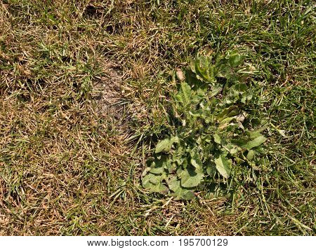 Dry Burnt Dead Grass On Hard Dry Clay, Natural Background.   Dry Brown Green Carpet