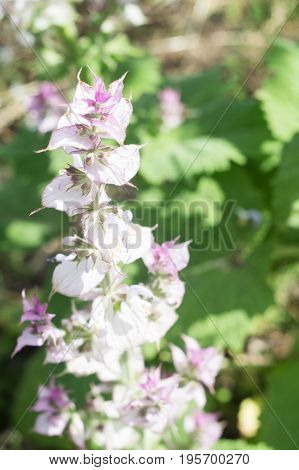Inflorescence of a clary sage. Medicinal plant