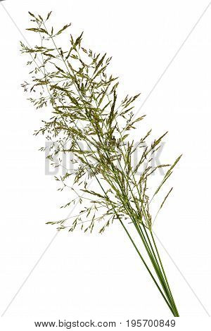 bunch of grass spica isolated on white background