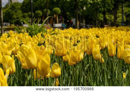 Lots of fresh yellow tulips in city Park.